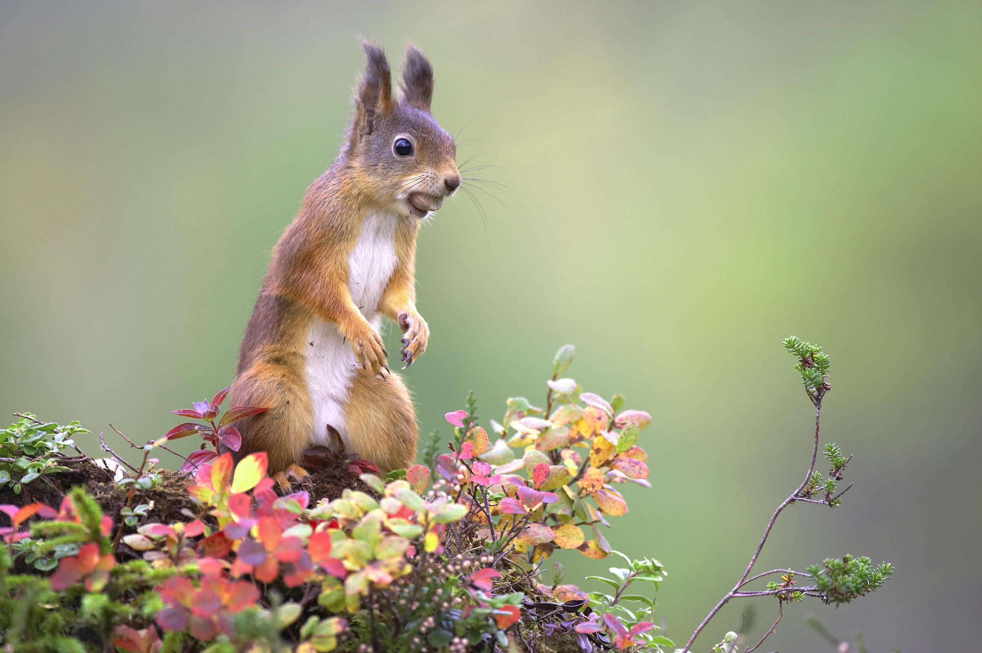 Red squirrels return to the Highlands